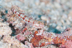 BD-111127-Raja-Ampat-5341-Synodus-variegatus-(Lacepède.-1803)-[Variegated-lizardfish].jpg